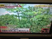 「世界の村で発見!こんなところに日本人」でモリンガ大流行の兆しと紹介!